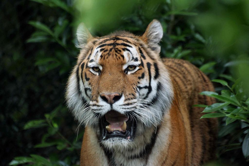 虎の画像 p1_20